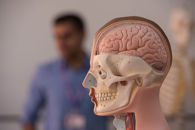 model of the skull and brain