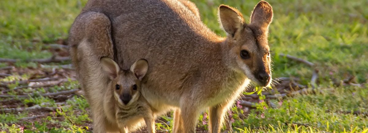 Scientists link hormone production in baby wallabies to human genital development
